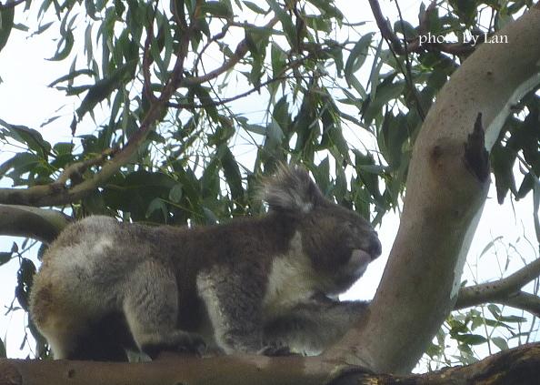 ケイプオトウェイ灯台、野生のコアラ